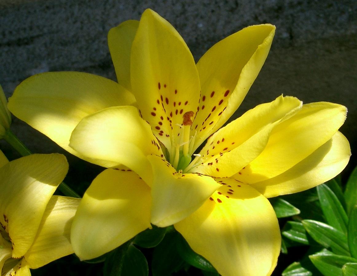 File:Lys jaune.jpg - Wikimedia Commons
