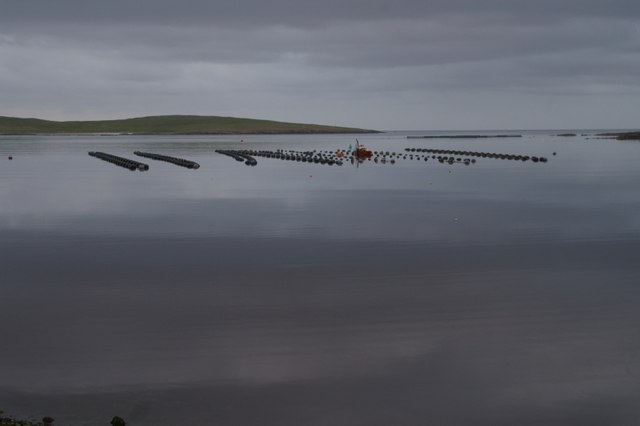 File:Mussel rafts in the voe of Baltasound - geograph.org.uk - 553761.jpg