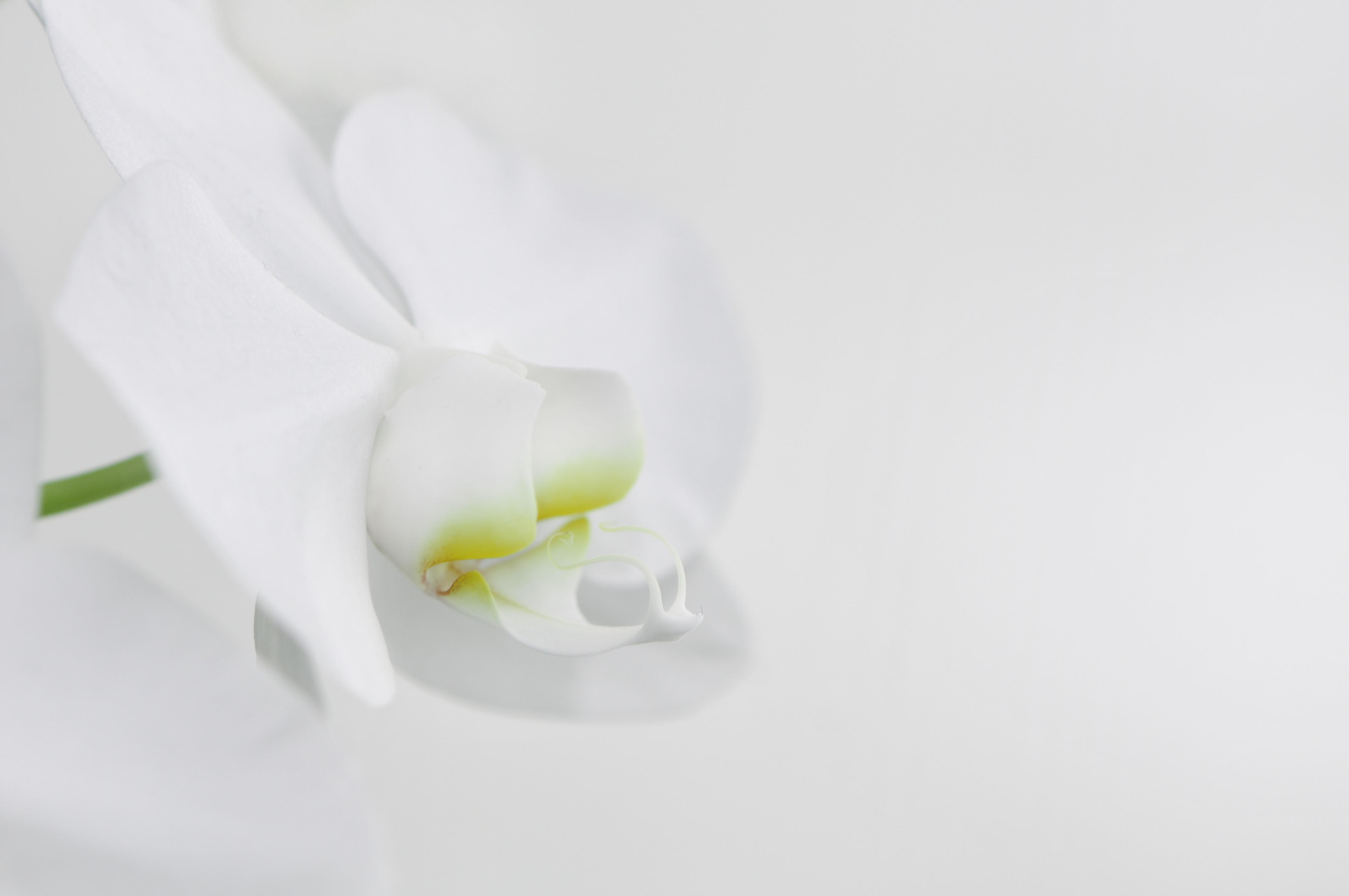 file nachtfalter orchidee phalaenopsis 03 jpg wikimedia. Black Bedroom Furniture Sets. Home Design Ideas