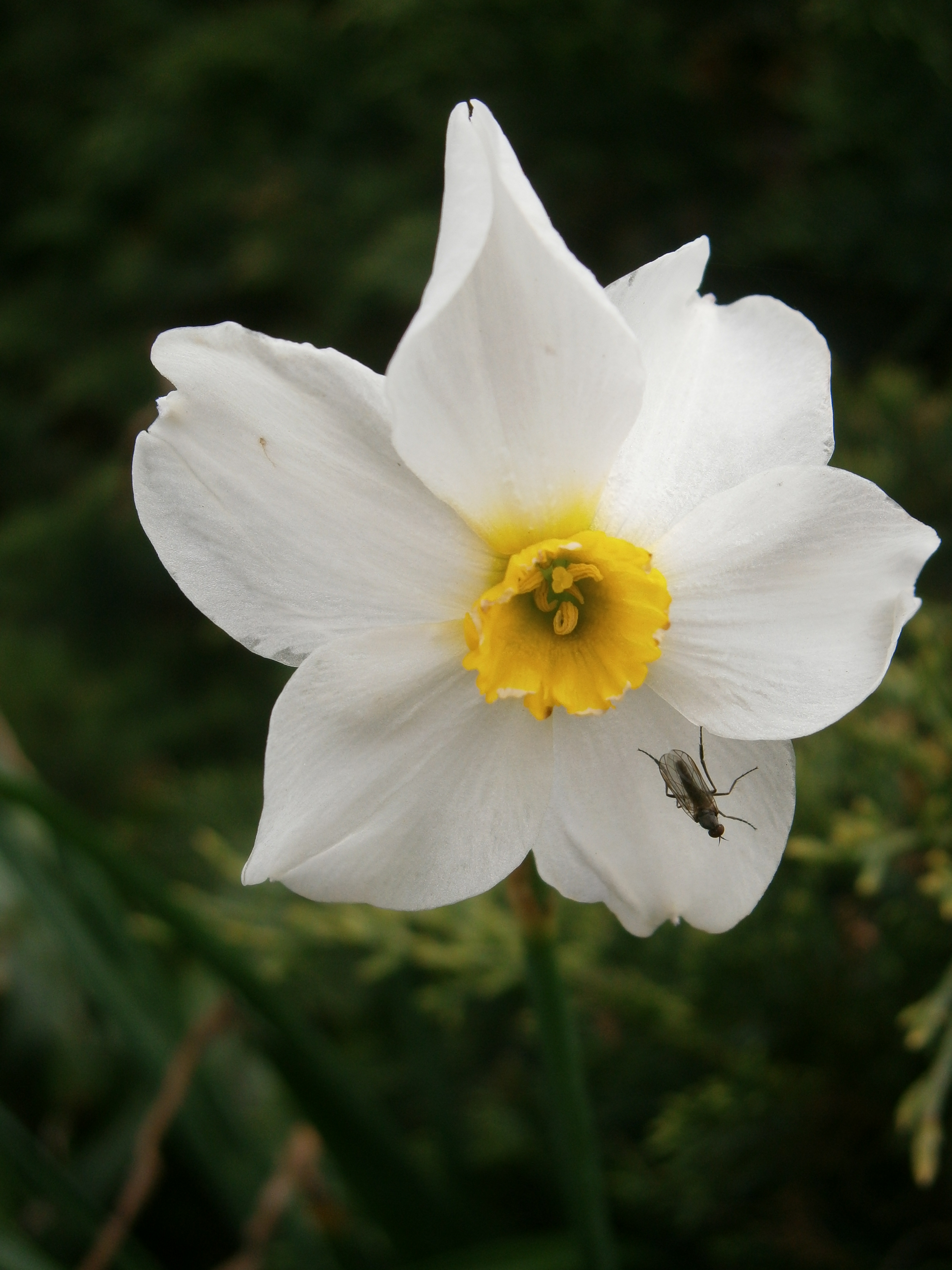 Echo And Narcissus Flower narcissus_and_nemesis3...