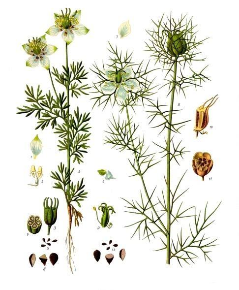File:Nigella sativa - Köhler–s Medizinal-Pflanzen-227.jpg