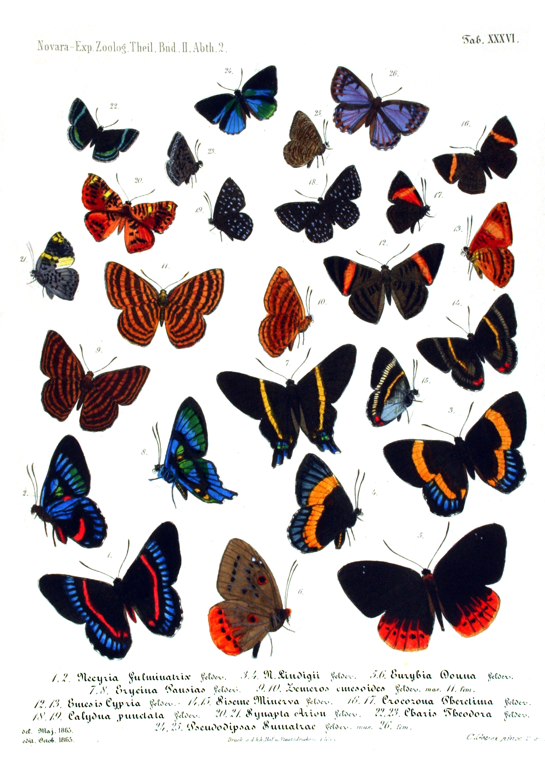 NovaraExpZoologischeTheilLepidopteraAtlasTaf36
