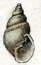 <i>Odostomia unidentata</i> species of mollusc