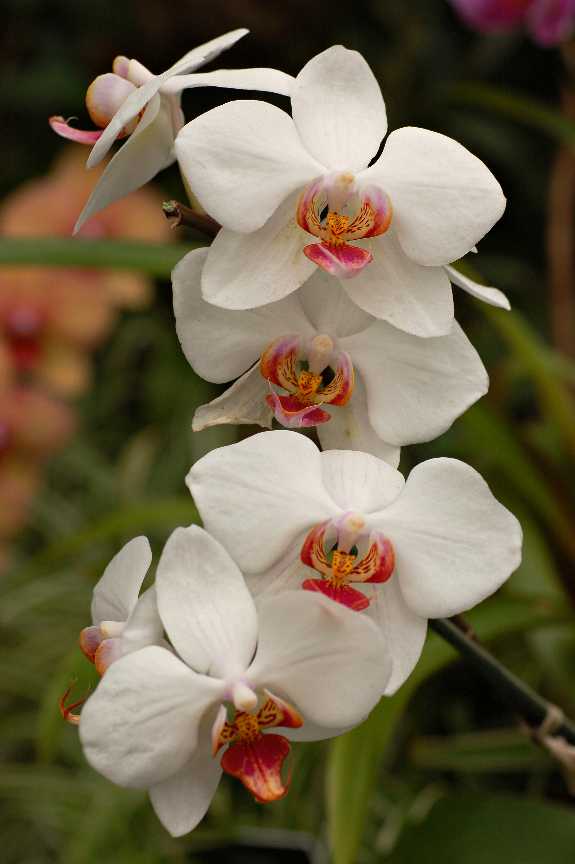 Fileorchid Cultivar White Flowers 2000pxg Wikimedia Commons