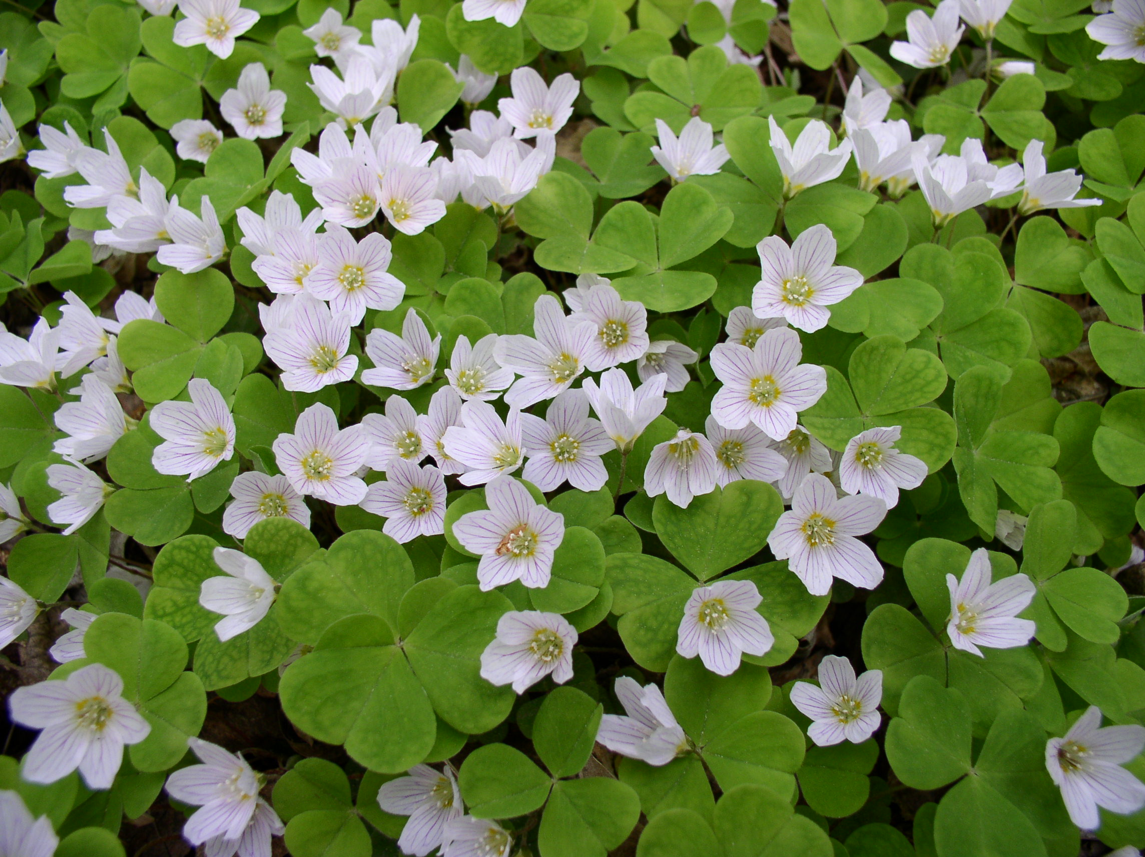 https://upload.wikimedia.org/wikipedia/commons/c/c7/Oxalis_acetosella-1.jpg