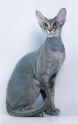 Peterbald male Shango by Irina Polunina.jpg