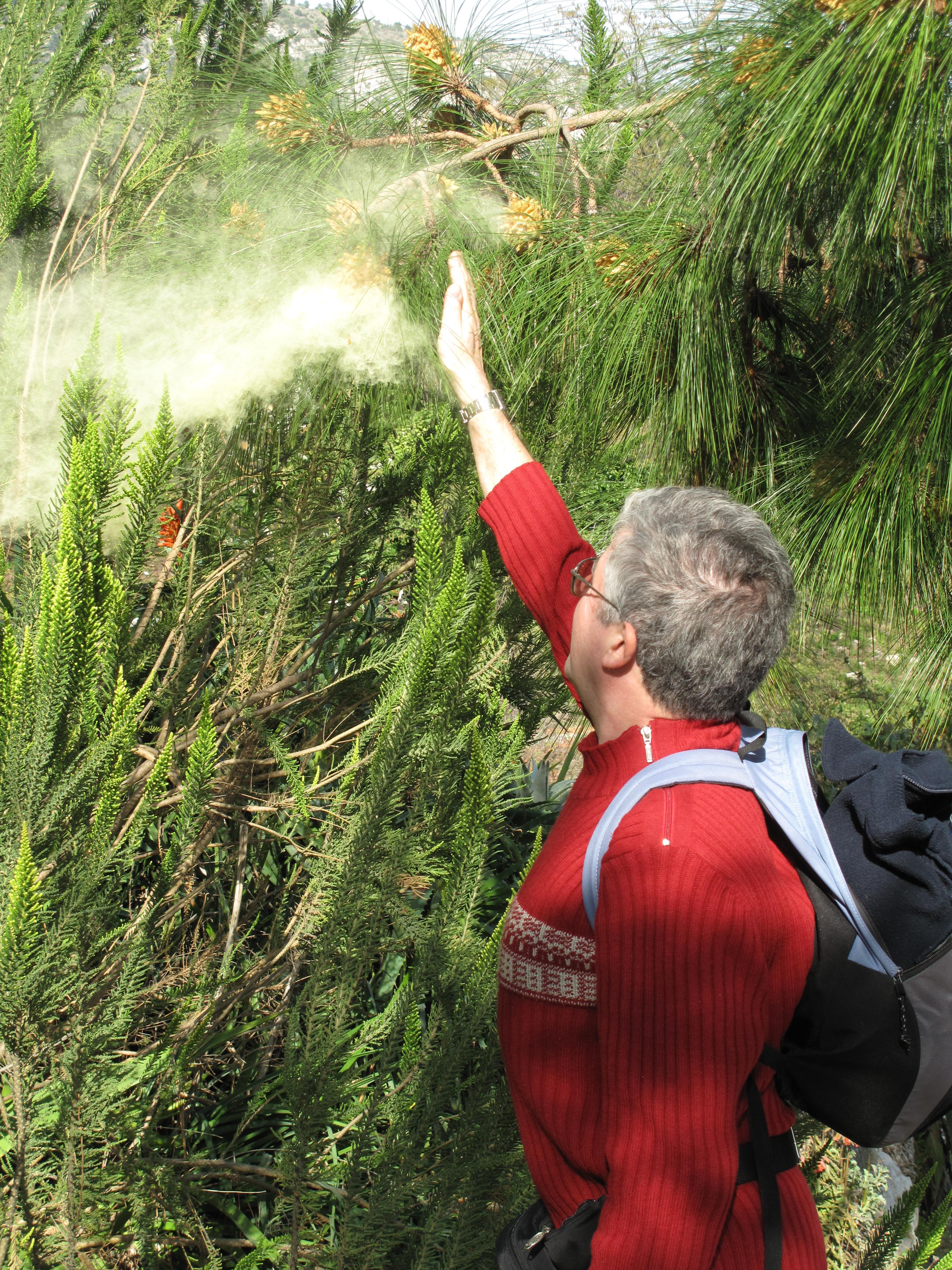 Pine Tree Pollination
