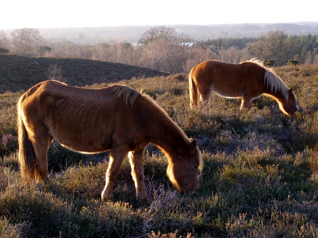Ponies grazing Rockford Common, New Forest - geograph.org.uk - 313001
