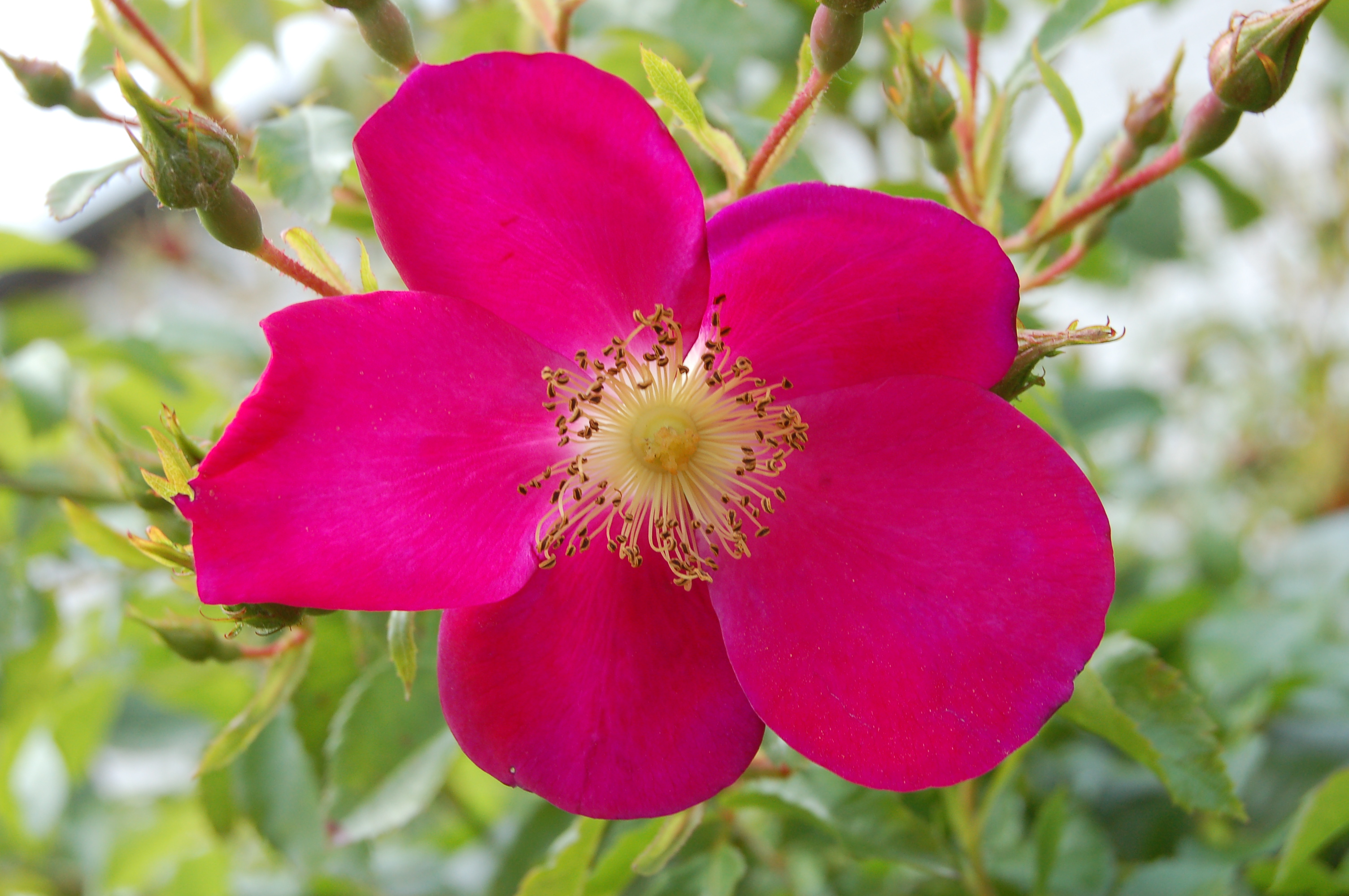 Purple Haze Rose