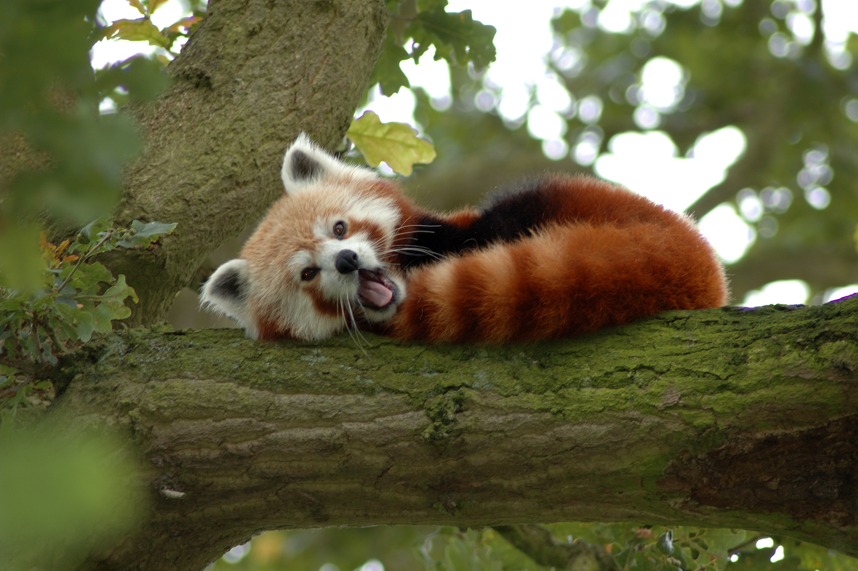 File:Red Panda in a Tree Y A W N I N G!.jpg - Wikimedia Commons