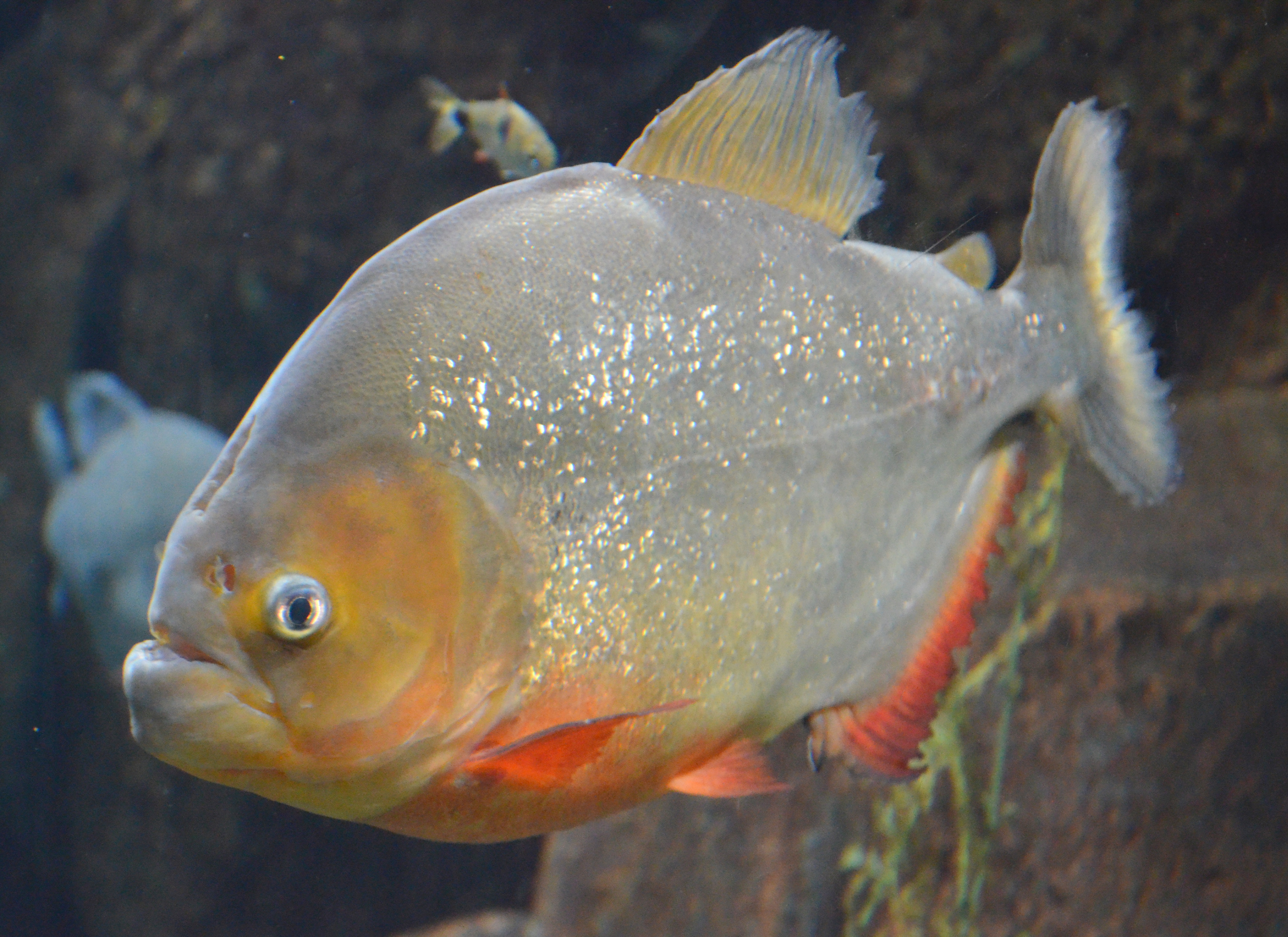 Piranhas Wikiwand HD Wallpapers Download free images and photos [musssic.tk]