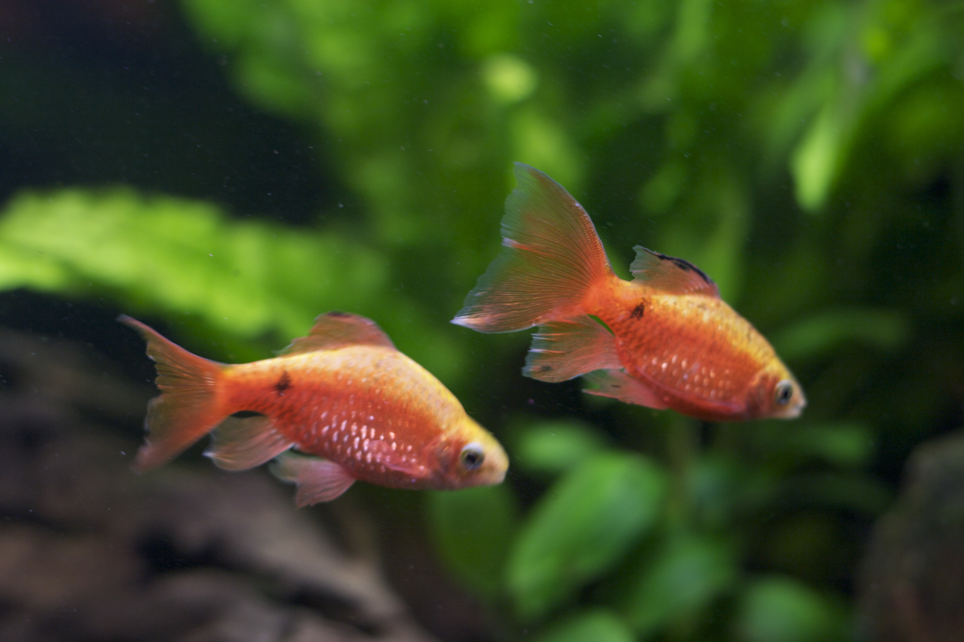 You'll need plenty of space to keep Rosy Barbs with goldfish