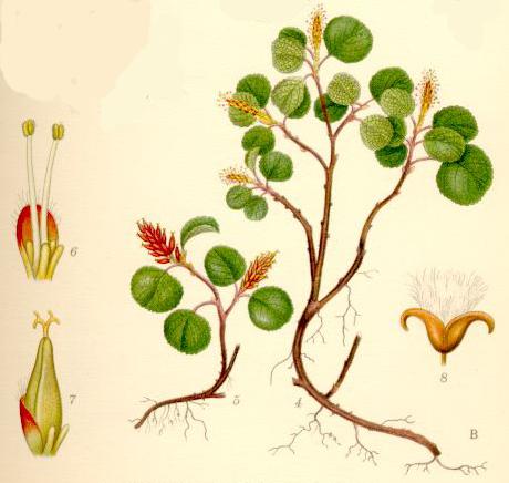Vŕba bylinná (Salix herbacea)