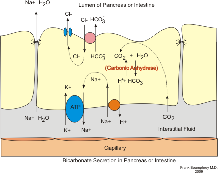 Secretion bicarbonate.png