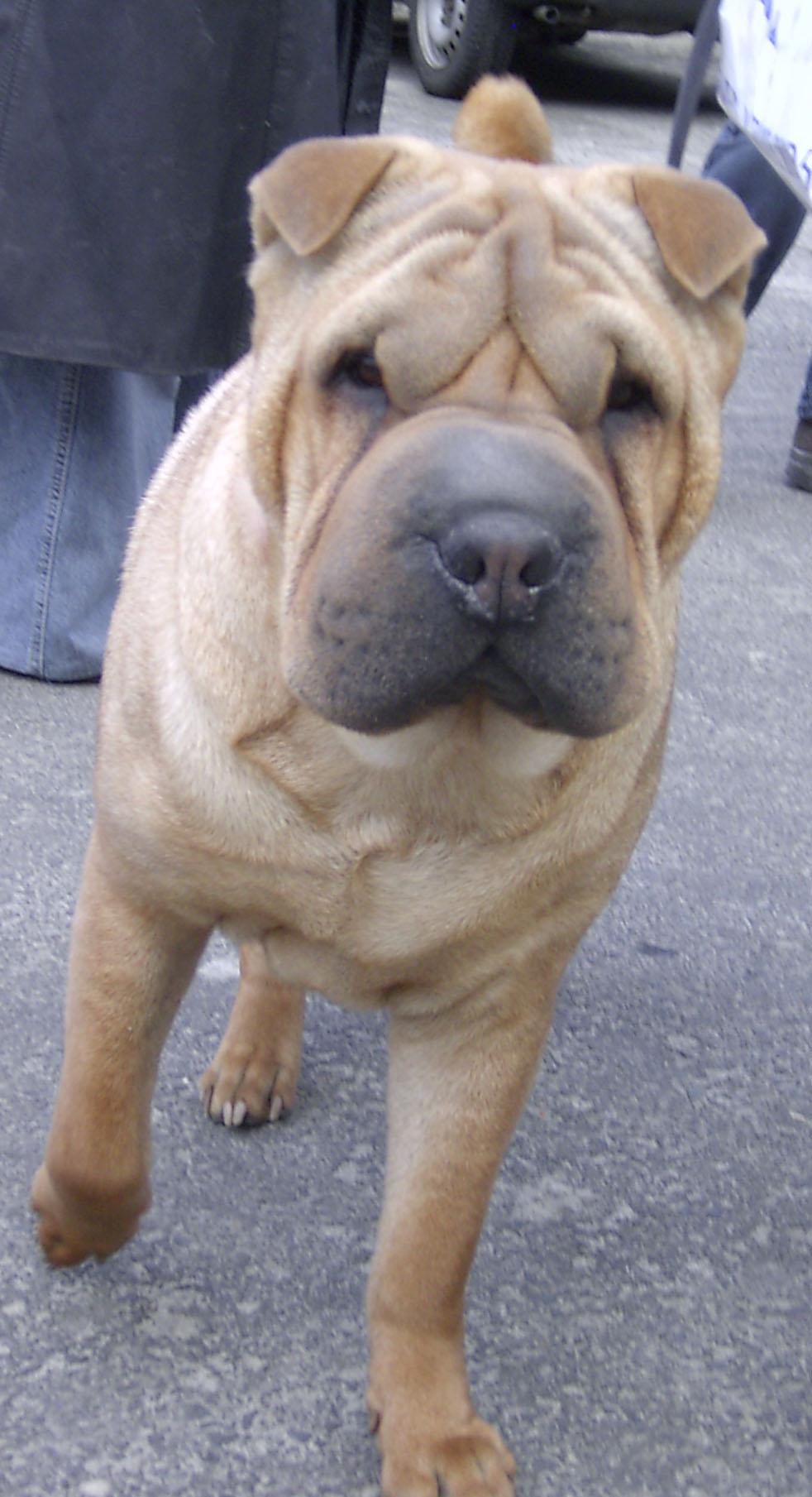 bulldog pictures, shar-pei pictures, american bulldog videos, shar-pei