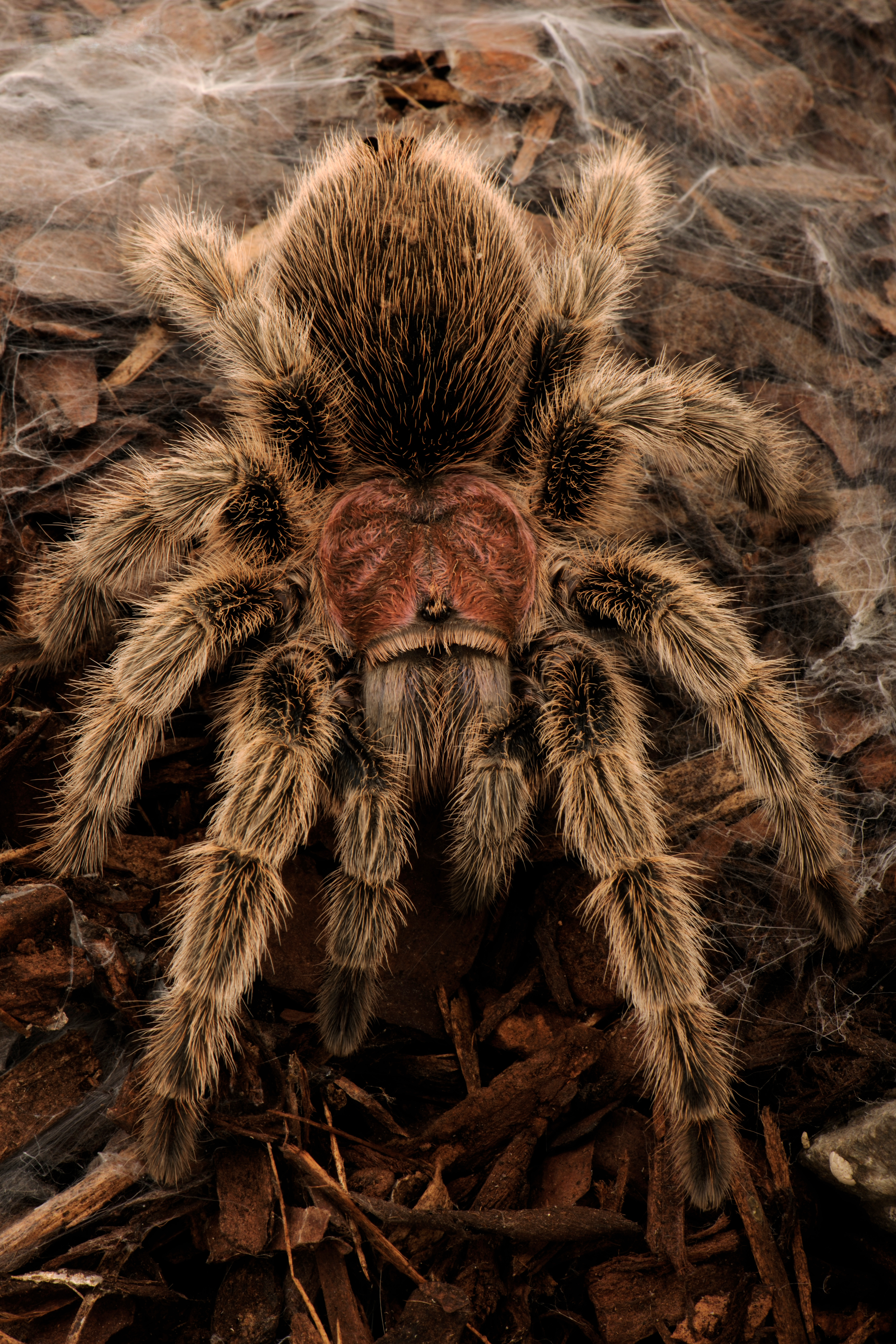 file spider photographed with a nikon wikimedia commons. Black Bedroom Furniture Sets. Home Design Ideas