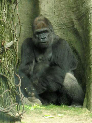 http://upload.wikimedia.org/wikipedia/commons/c/c7/Stavenn_Gorilla_gorilla_00.jpg