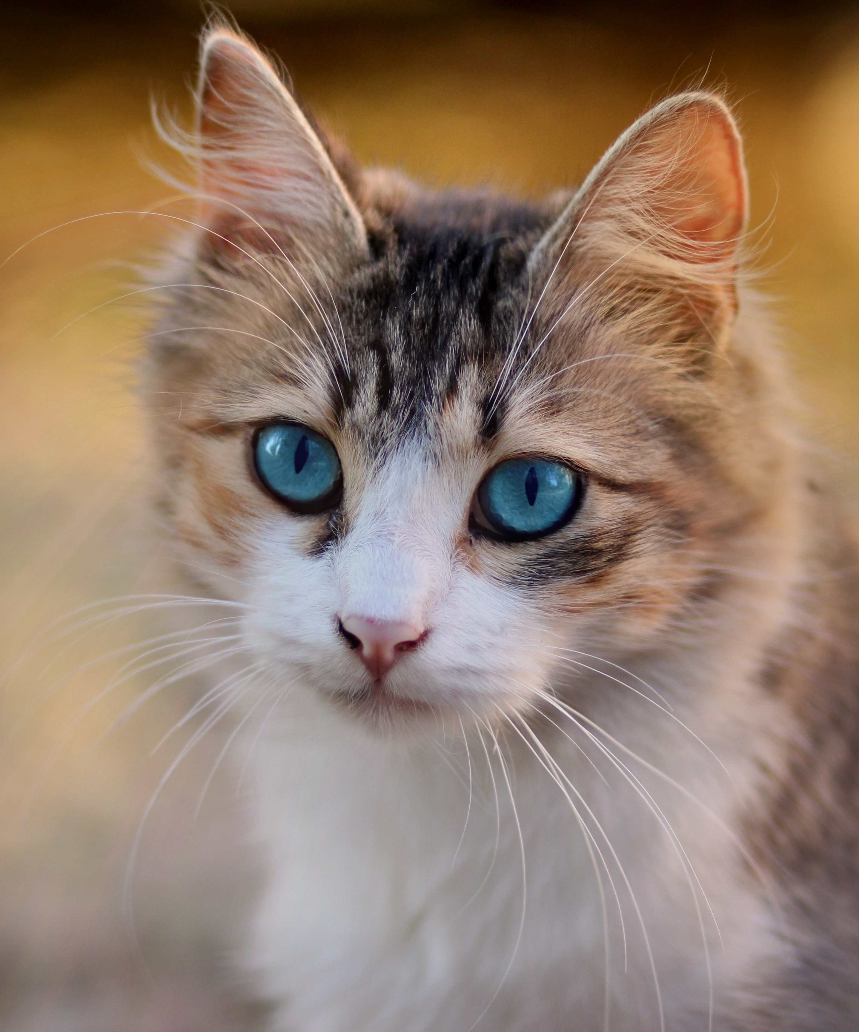 FileTabby cat with blue eyes,3336579 , Wikipedia
