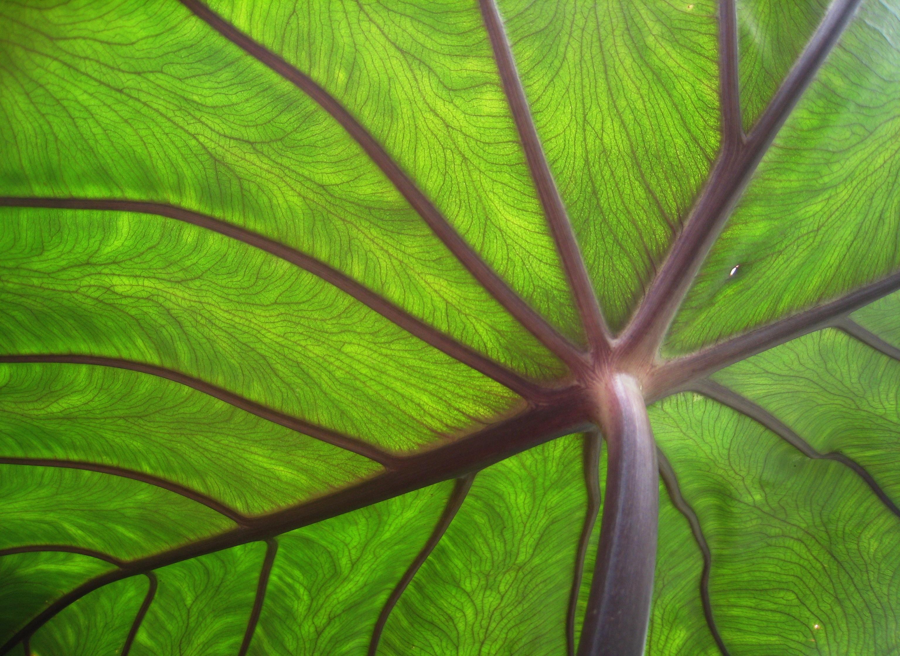 Dosya Taro Leaf Underside Backlit By Sun Edit Jpg