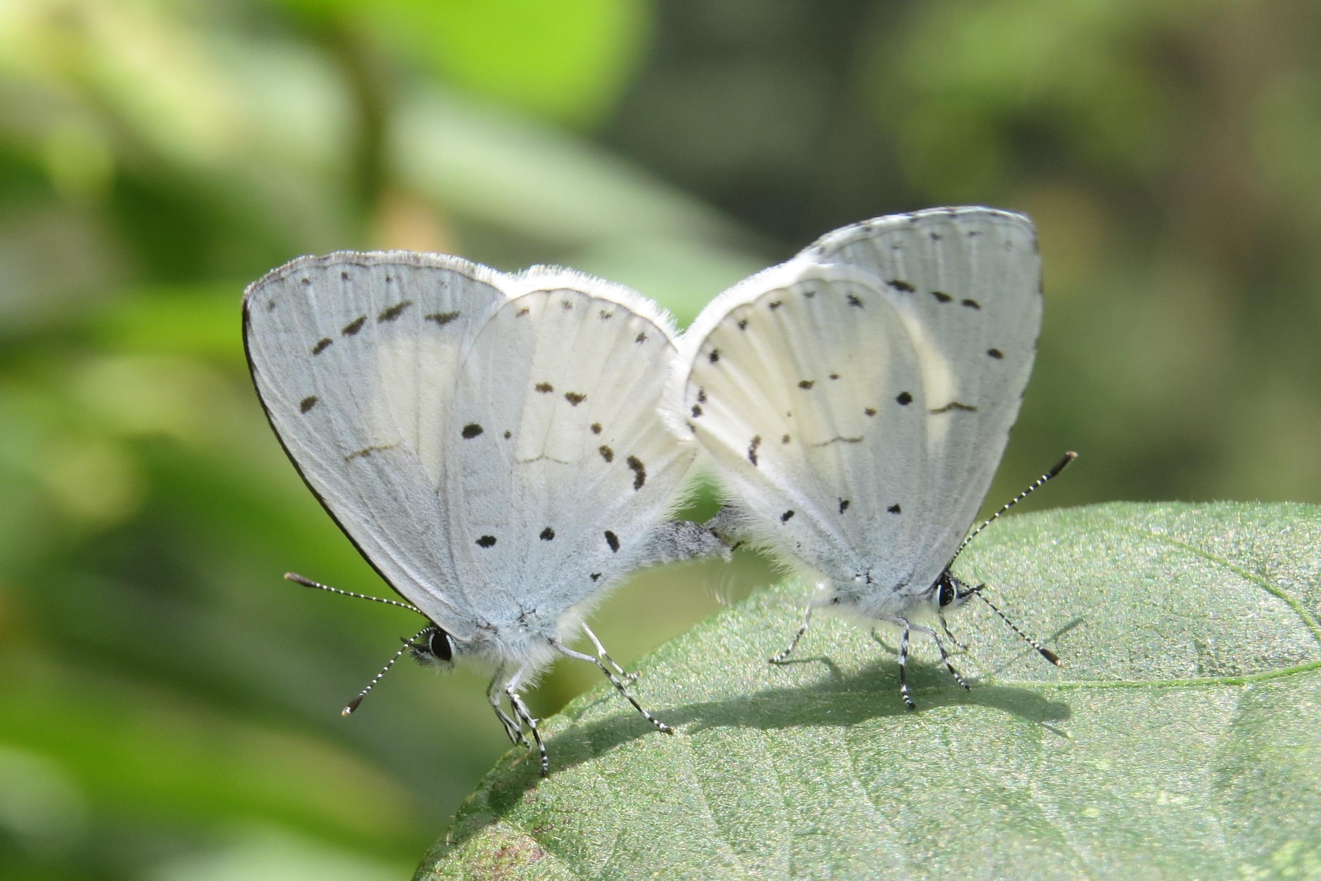 Bộ sưu tập cánh vẩy 4 - Page 3 Udara_akasa_Horsfield%2C_1828_%E2%80%93_White_Hedge_Blue_at_Mannavan_Shola%2C_Anamudi_Shola_National_Park%2C_Kerala_%2811%29