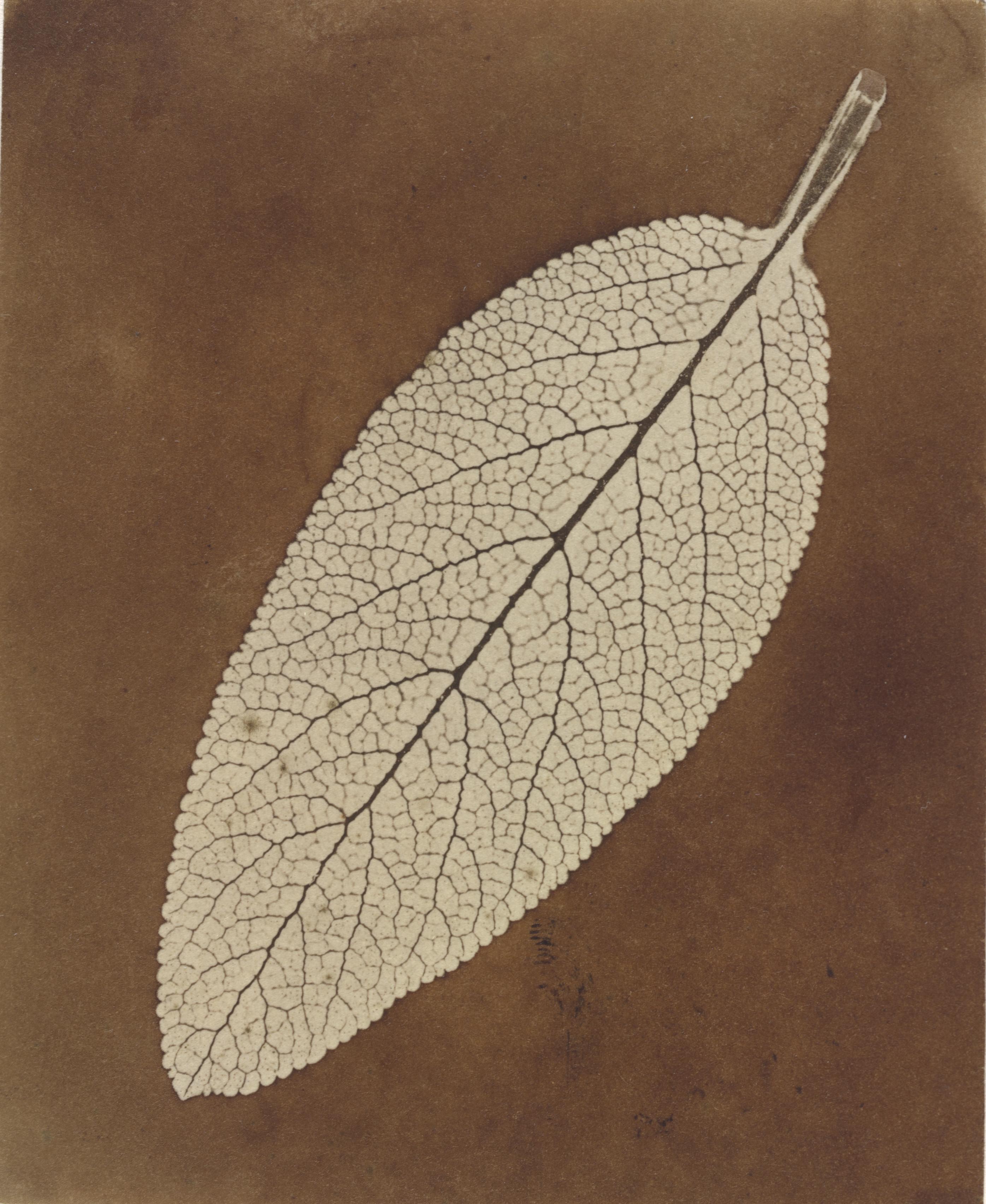 File:William Henry Fox Talbot, Leaf Study, 1839-1840, NGA 92376.jpg