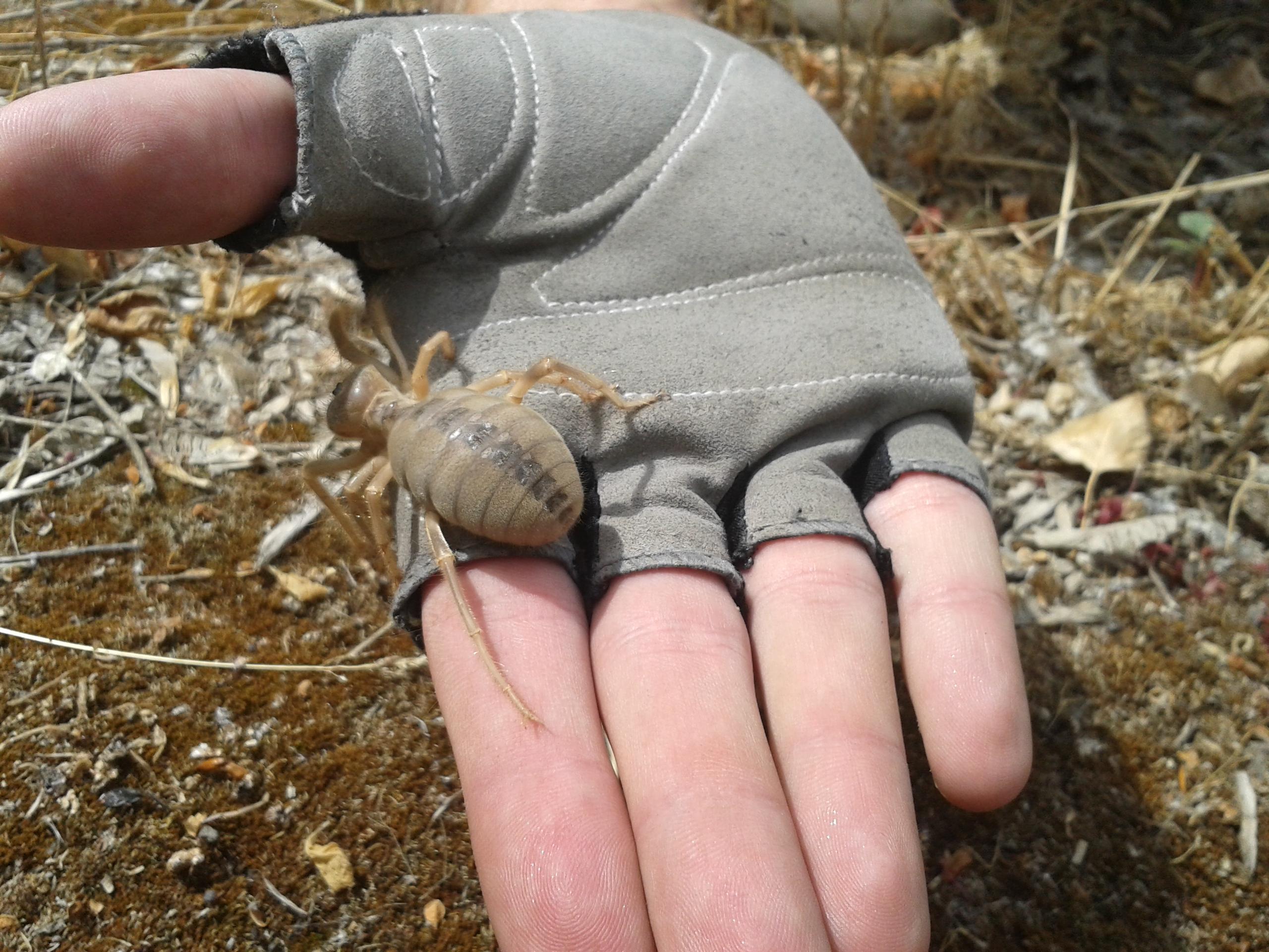 Файл:Сольпуга на руке 2.jpg — Википедия