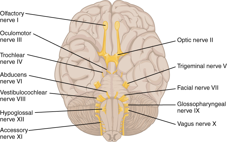 1320 The Cranial Nerves