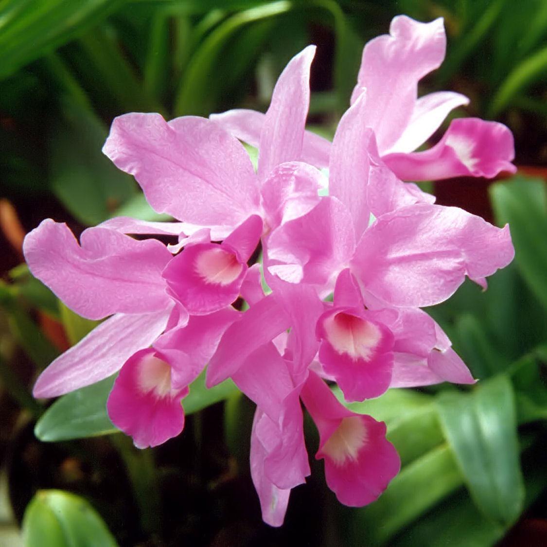 File a and b larsen orchids cattleya skinneri 431 for Orchidea cattleya
