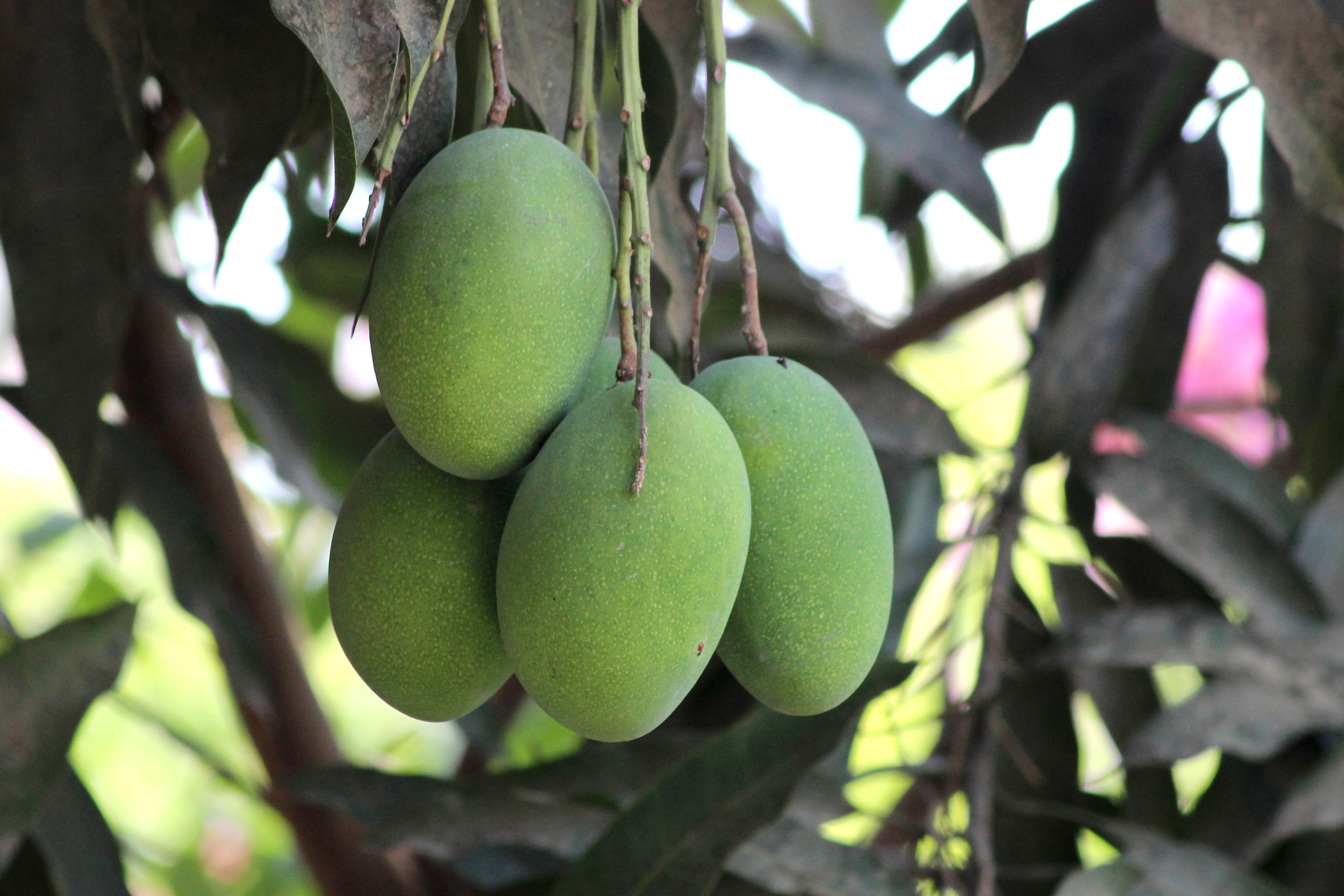 List Of Mango Cultivars Wikiwand