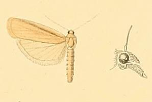 <i>Aphomia sabella</i> species of insect
