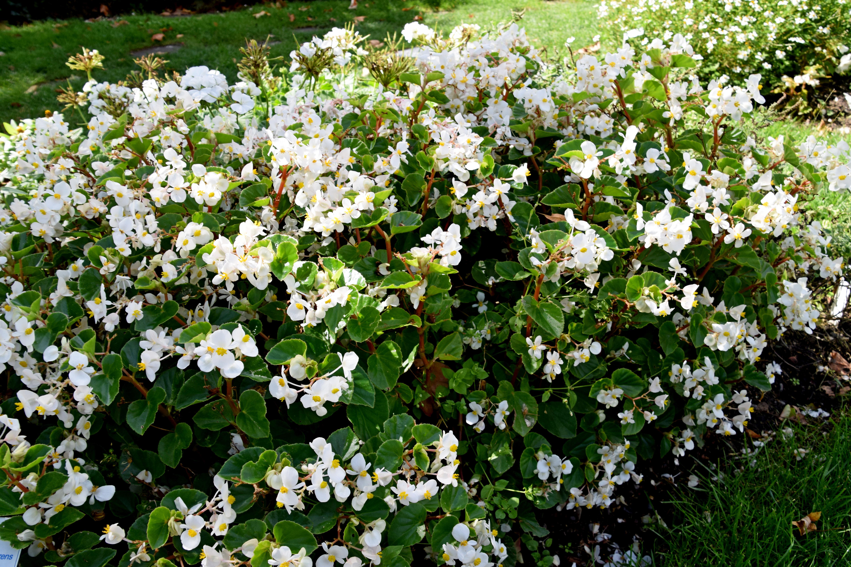 File Begonia semperflorens Stara Blanc in Jardin des Plantes de