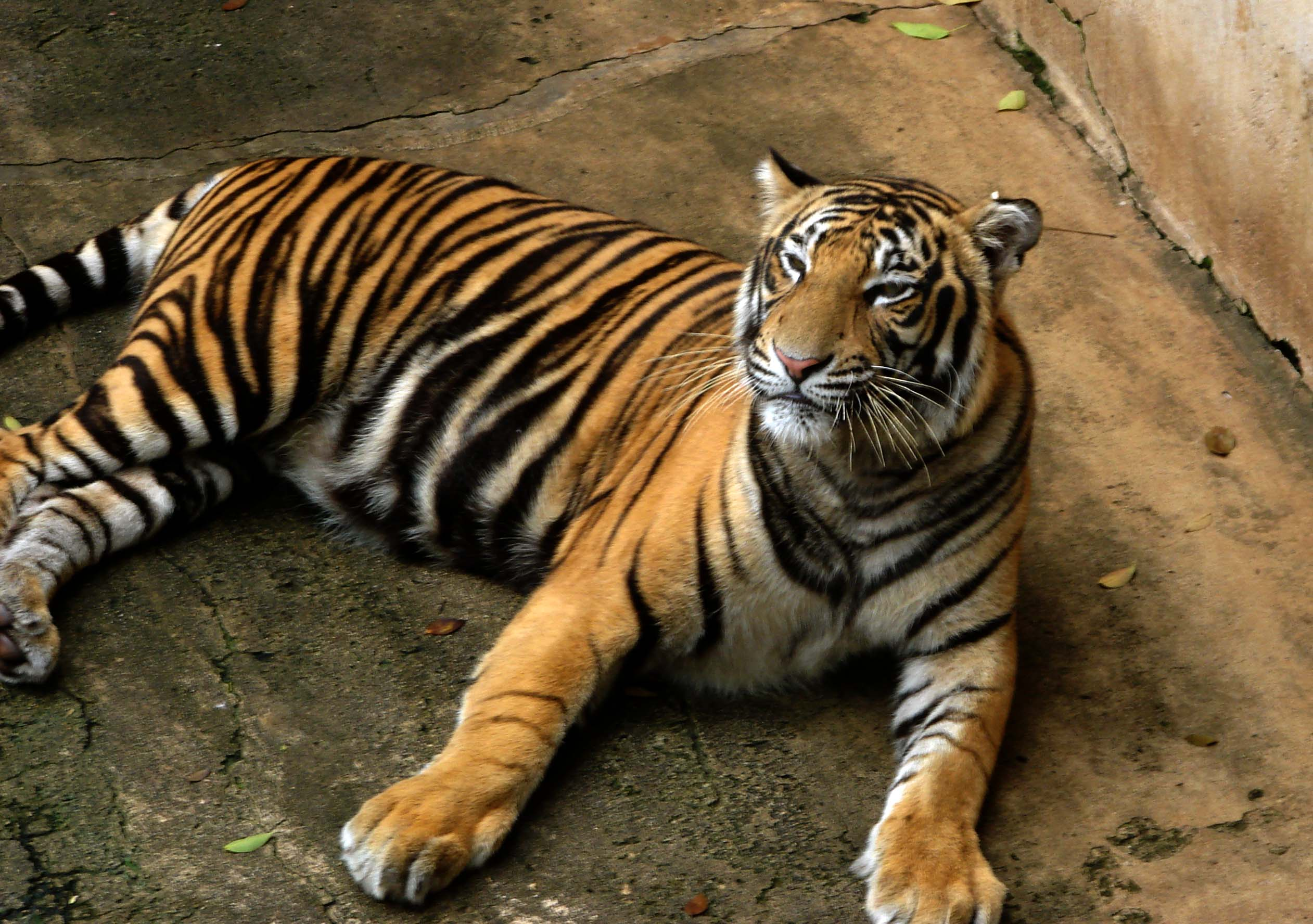 Description Bengal Tiger.jpg