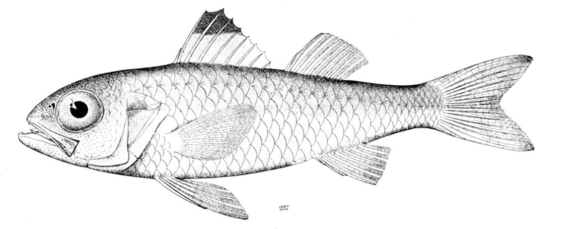 Blackmouth bass Synagrops bellus.jpg © NOAA NMFS Santa Cruz Laboratory Library