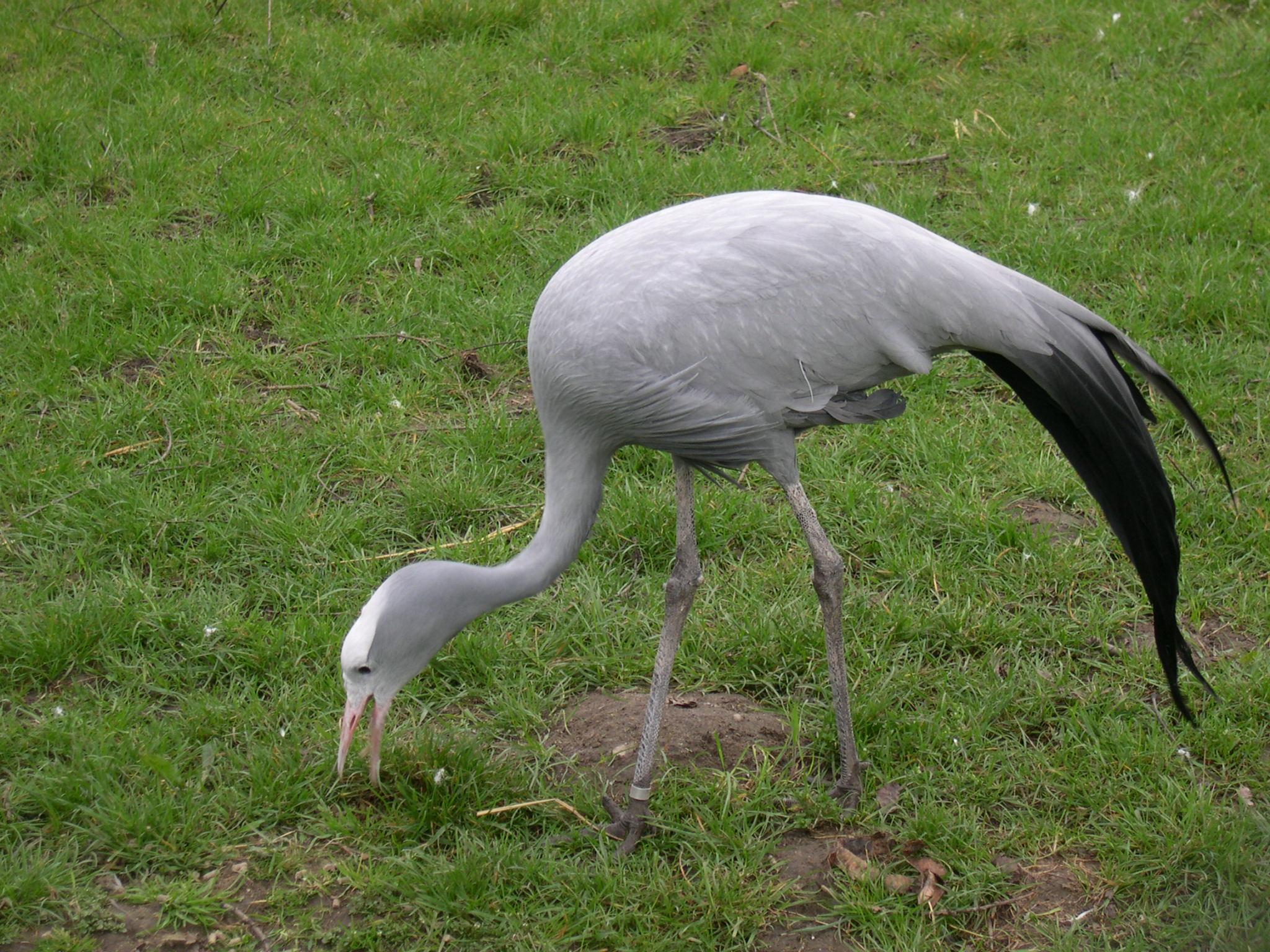 Crane Bird \x3cb\x3ecrane\x3c/b\x3e (\x3cb\x3ebird\x3c/b\x3e ...