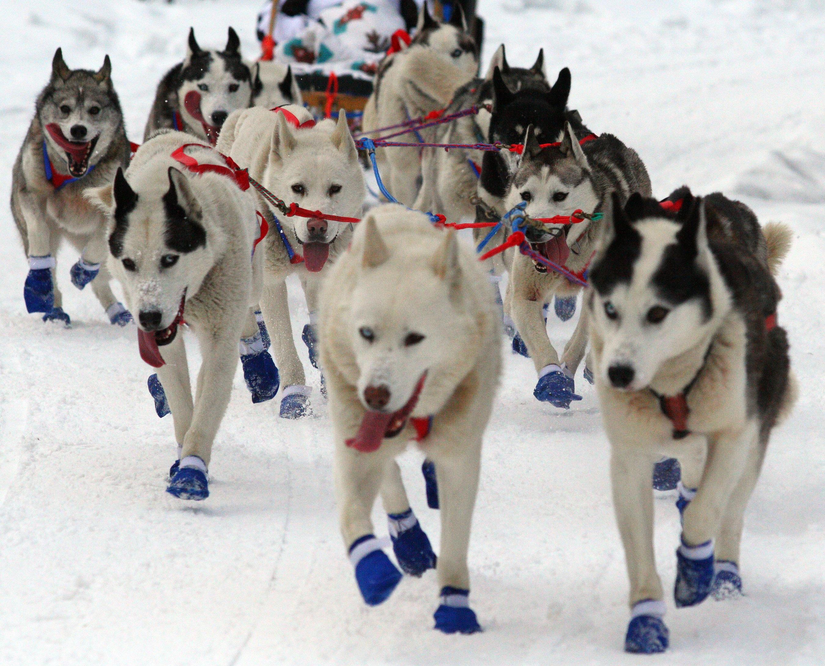 Image Result For Alaska Dog