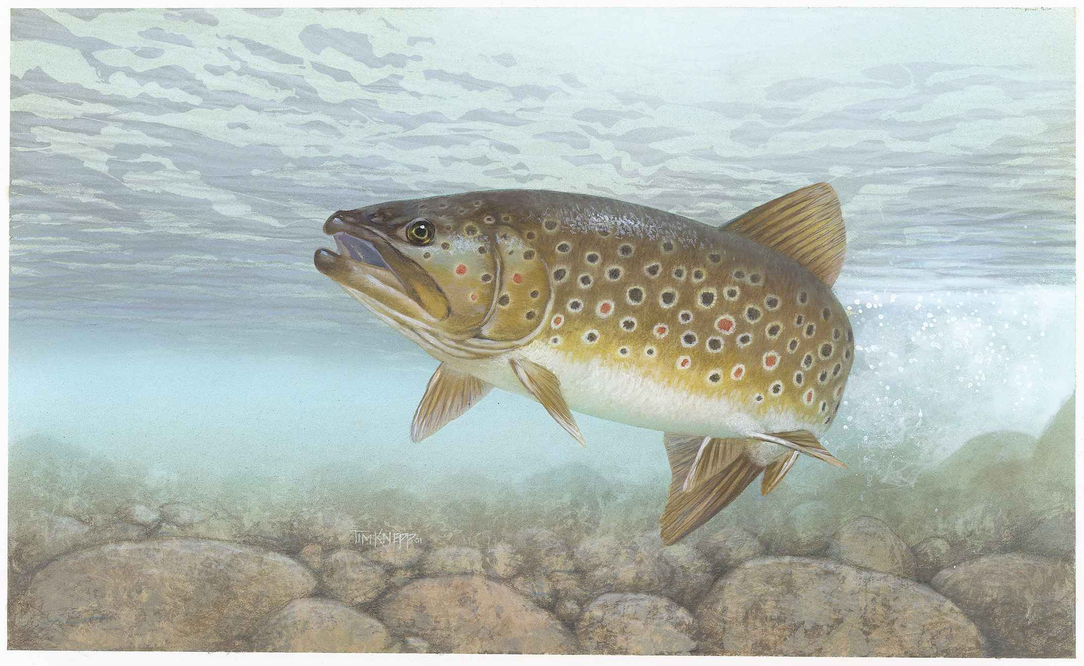 File brown trout salmo wikimedia commons for Trout fish pictures