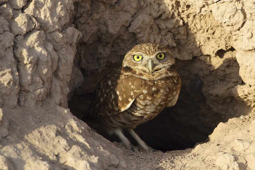 Image result for burrowing owl burrow