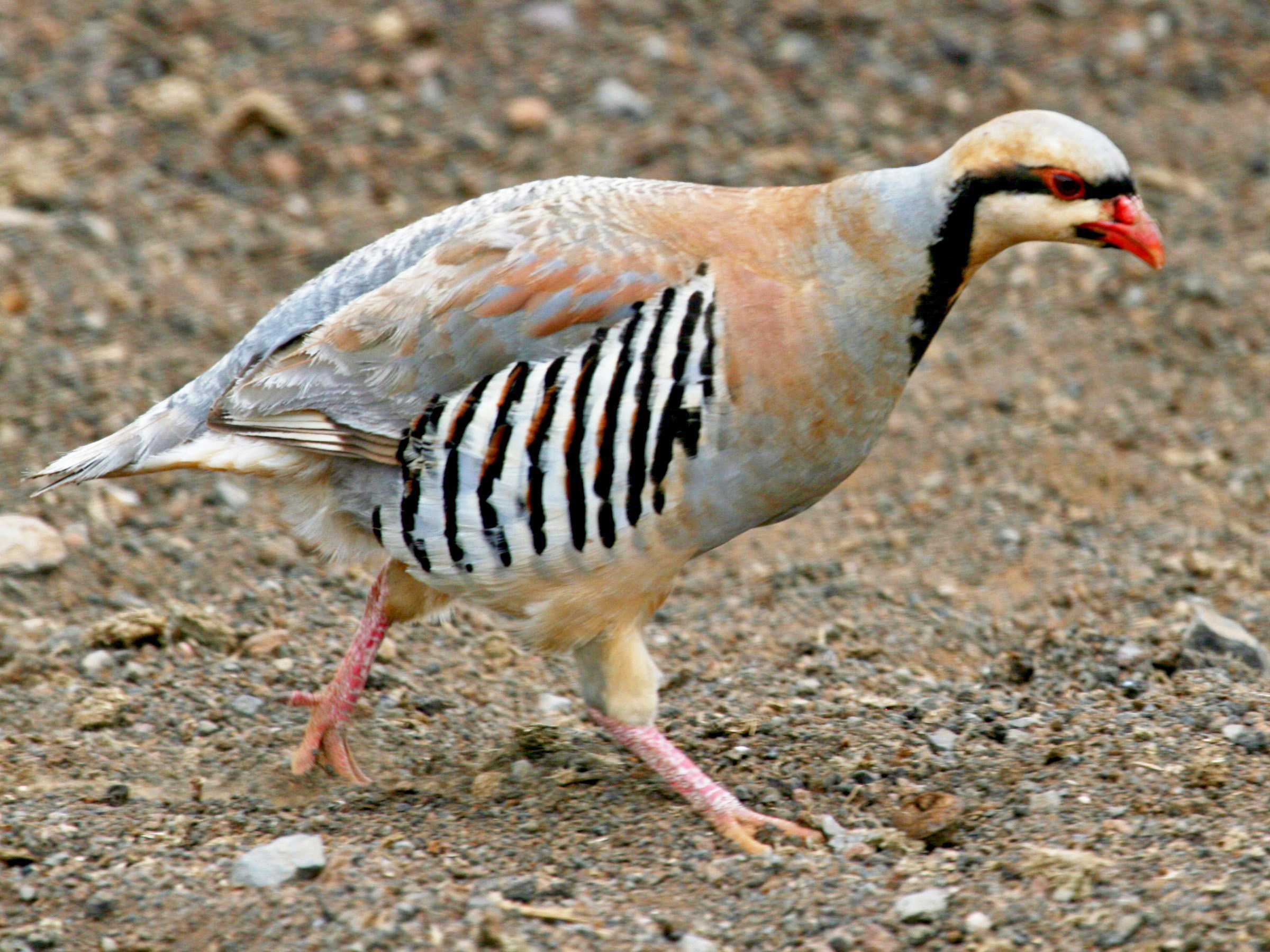 http://upload.wikimedia.org/wikipedia/commons/c/c8/Chukar_Partridge_RWD.jpg