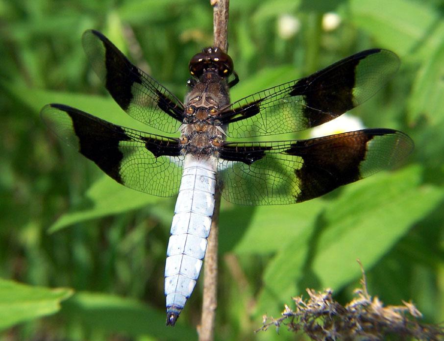Common Whitetail Wikipedia