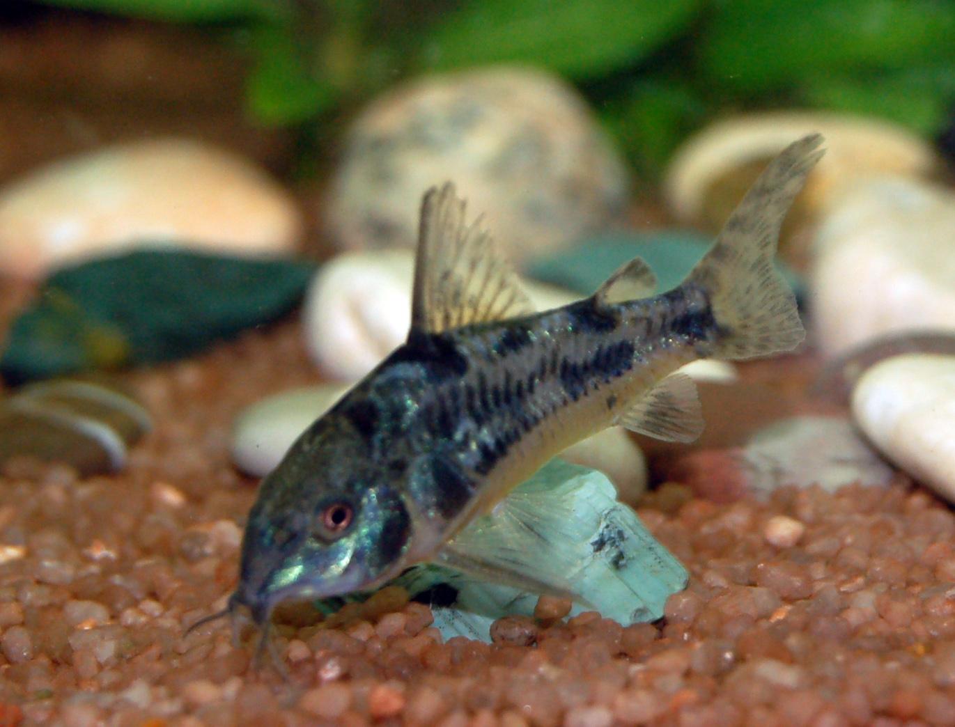 File:Corydoras paleatus matt.jpg - Wikimedia Commons