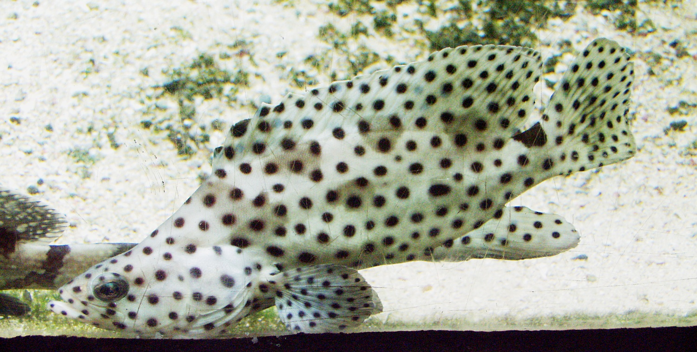 Panther Grouper | File Cromileptes Altivelis Paddelbarsch Panther Grouper Jpg