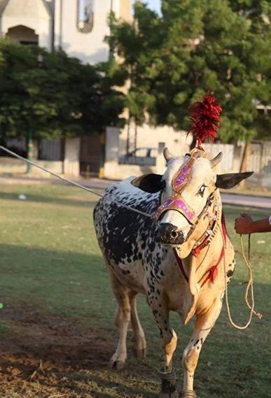 Dhanni (cattle) - Wikipedia