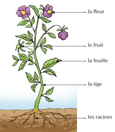 Fichier Differentes Parties De La Plante Jpg Wikipedia