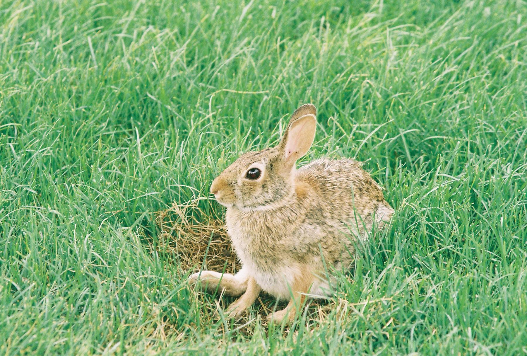 Cottontail rabbit habitat - photo#19