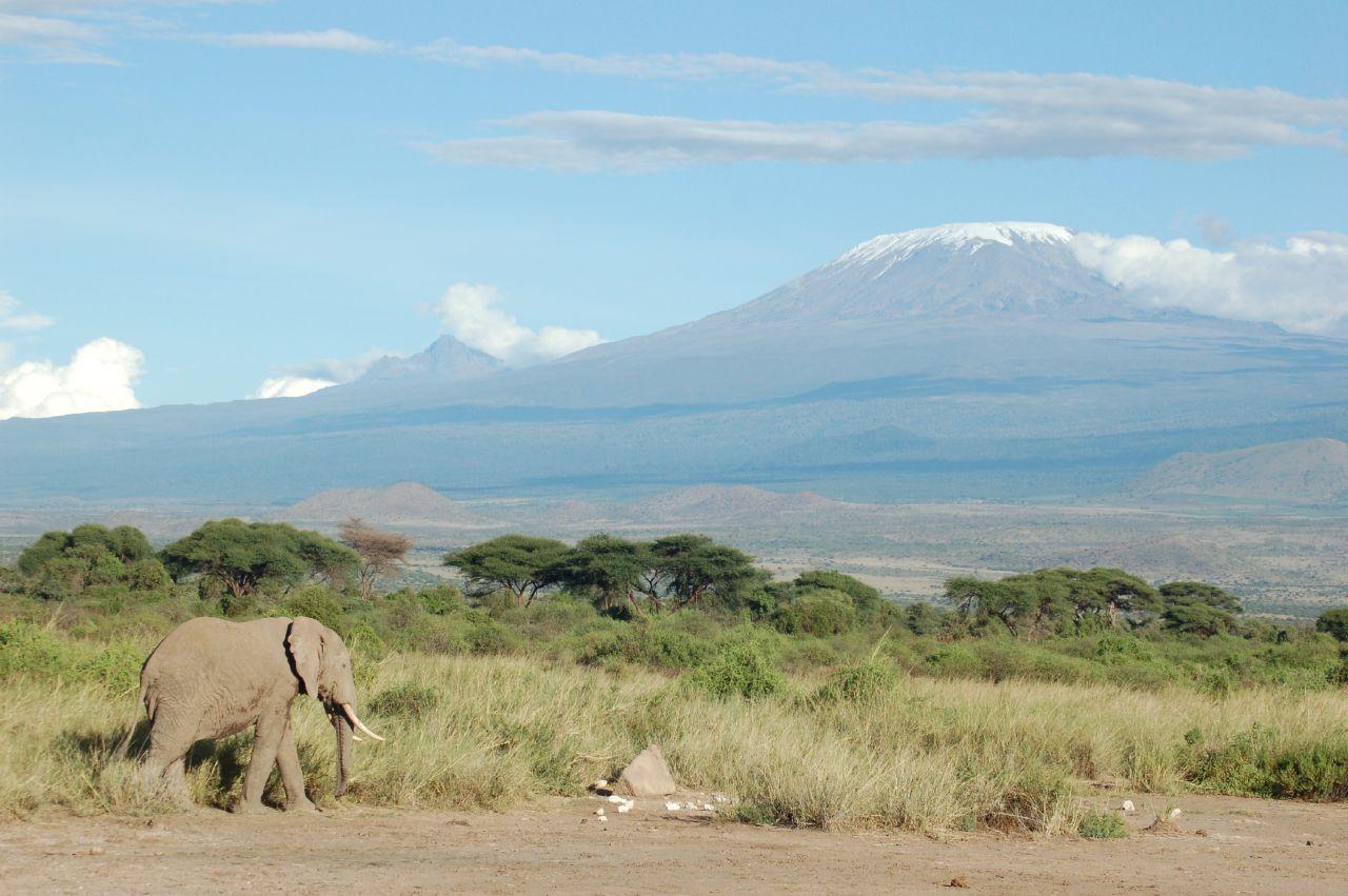 Seekor gajah melewati Gunung yang tertutup salju. Kilimanjaro
