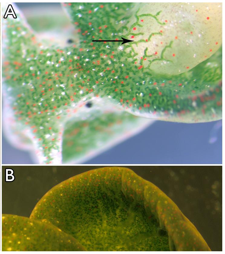 Jumatate planta, jumatate animal – Un melc care se hraneste prin fotosinteza