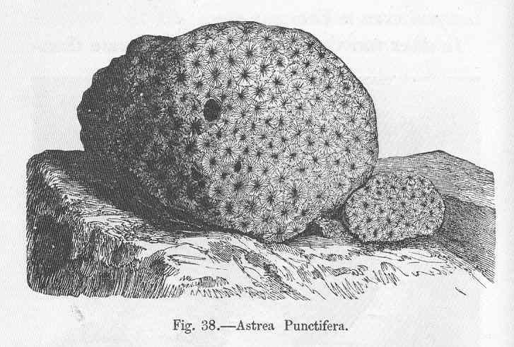 File:FMIB 49976 Astrea punctifera.jpeg