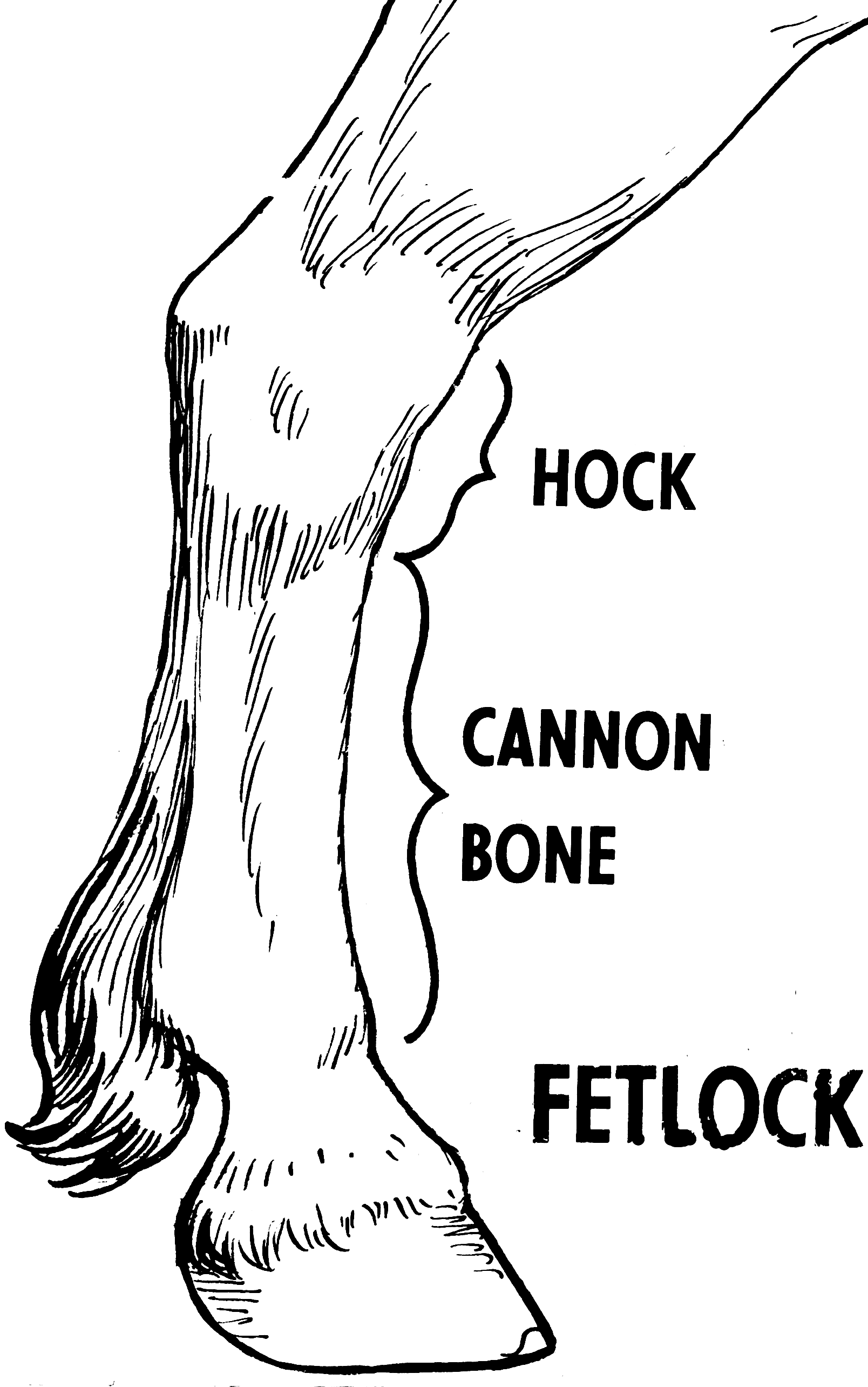 horse anatomy coloring pages - photo#36