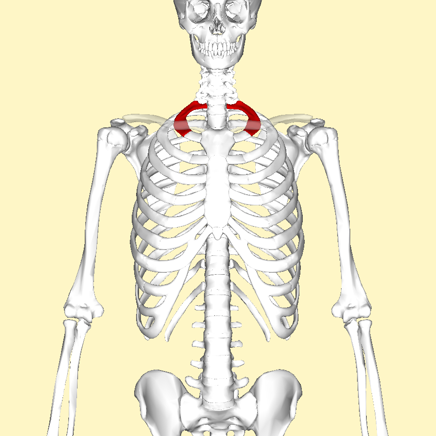 File:First rib 2.png - Wikimedia Commons