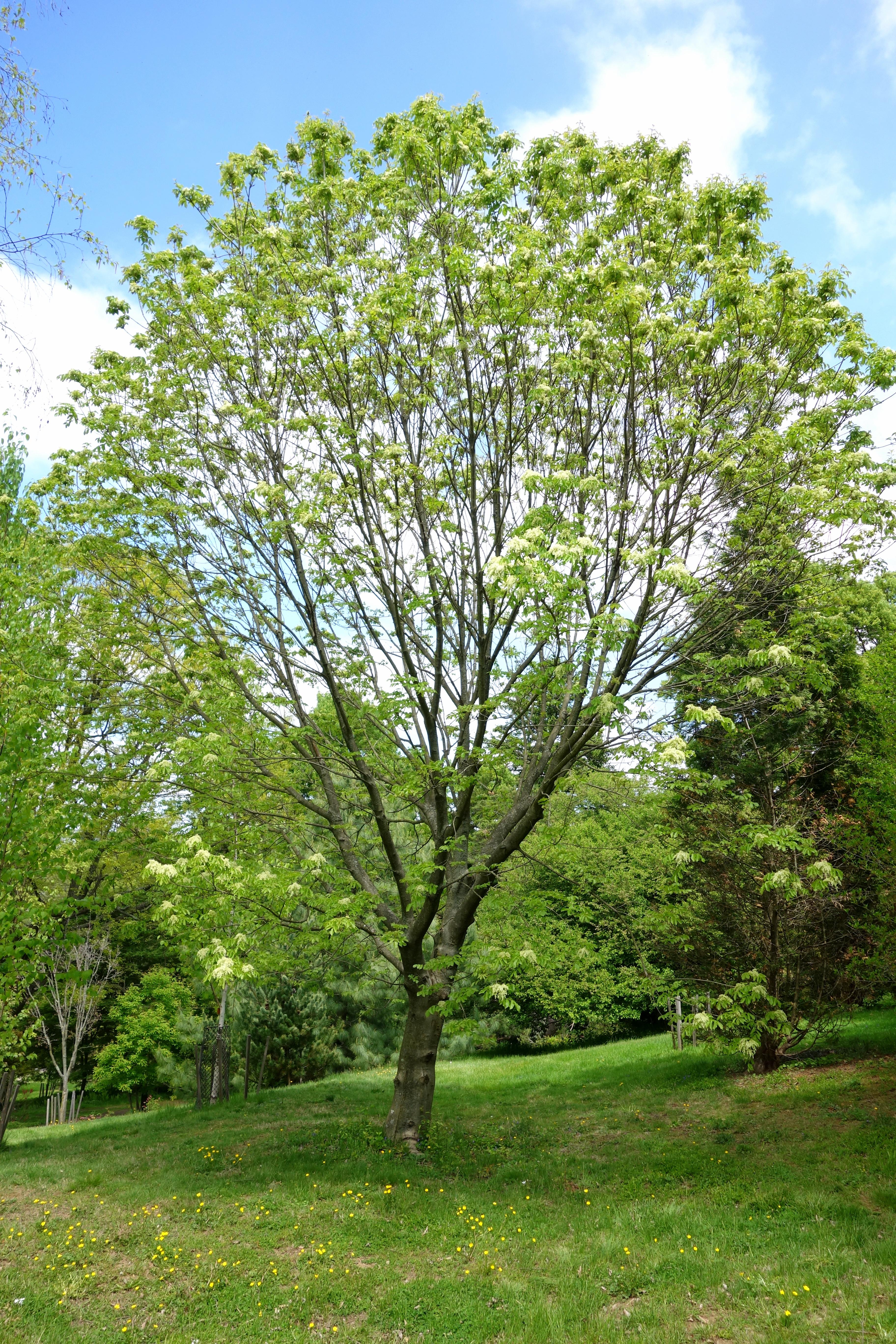 оксен дърво Ясен   Wikiwand оксен дърво